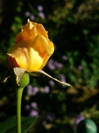 Flower Garden Plants Rose - Flower Roses Brass Band Brassband Rose-bud Bud Yellow Autumn Fall Smartphone Photography Smartphone Mobile 花 バラ 薔薇 ブラスバンド 黄色 つぼみ 蕾 秋 スマホ Japan