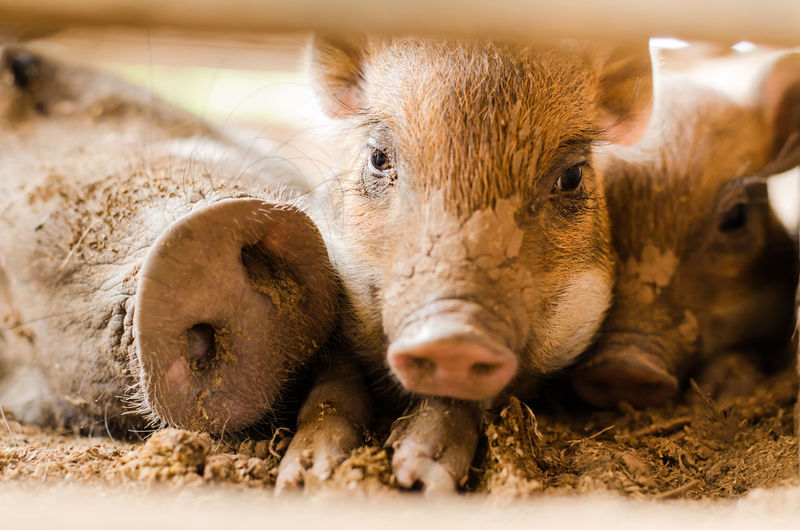 Portrait of pigs relaxing