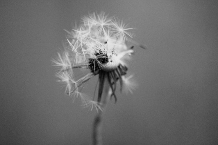 Pusteblume Pusteblumen Flower Fragility Dandelion Flower Head Nature Close-up Growth Petal Freshness Beauty In Nature Softness No People Plant Day Beauty In Nature Black And White Flowers Black And White Focus On Foreground Animal Themes Outdoors Animals In The Wild Dandelion Close-up Springtime Black And White Friday