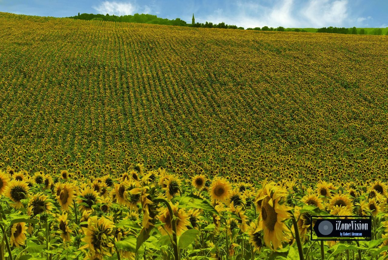 field, landscape, nature, growth, agriculture, day, outdoors, beauty in nature, sky, rural scene, scenics, yellow, plant, no people, mammal