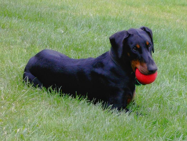 Dog Dog❤ Dogs Dogs Of EyeEm Dogslife Red Ball Ball Doberman  Dobermann Dobermanpinscher Dobermanoftheday Doberman Pinscher Dog With A Ball Pet Pets