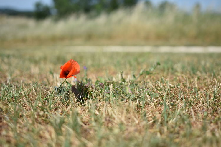 Close-up of poppy on field