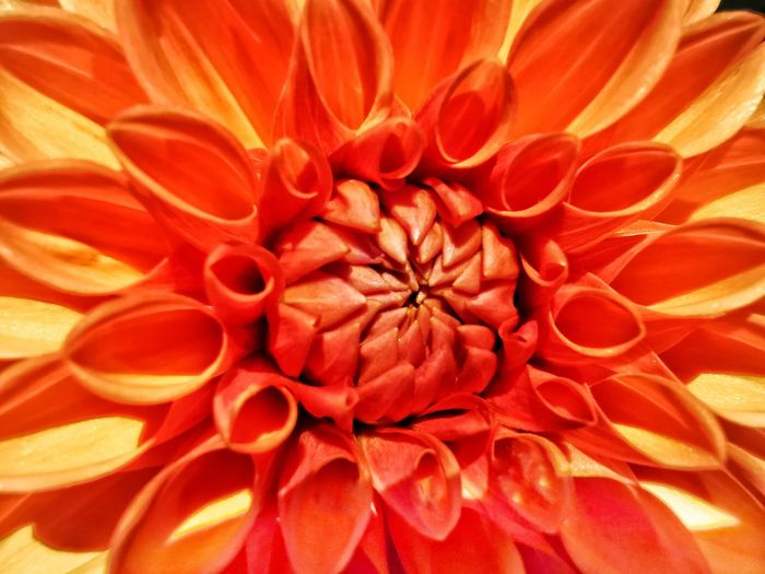 Full frame shot of orange dahlia