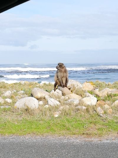Animal Wildlife Animals In The Wild Nature Outdoors No People Baboons Baboon Portrait