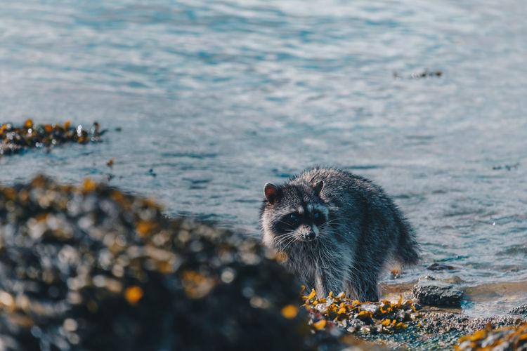 Close-up of raccoon at lake
