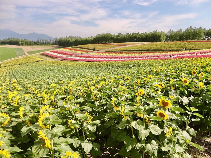 Furano 🌻 Hokkaido Japan Photography EyeEm Flower Flower Flower Fantasy Beauty In Nature Sunflower Landscape Travel Destinations Garden Flowers Sunny Day Enjoying The View Fragility Freshness Flower Collection Good Times Colorful Feel The Journey Outdoors Tranquility 富良野 北海道 お花畑 ひまわり