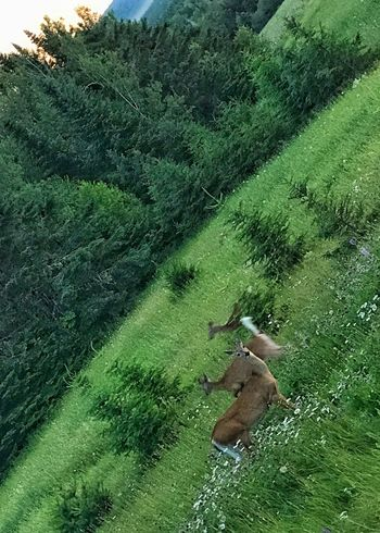 Deer in a meadow. Deer Meadow Meadow Flowers Green Color Animal Themes Grass Vertical Mammal Startled Evening Pine Tree Forest White Tailed Deer
