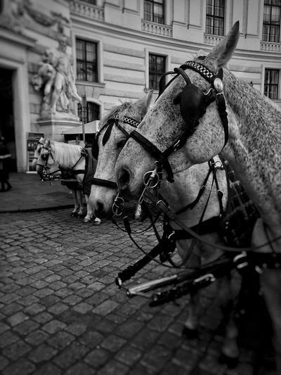 picture of the day City Horse Cart Architecture Building Exterior Built Structure Horse Cobblestone Carriage Pony Cobbled Horseback Riding Working Animal Horsedrawn Paddock Horse Racing Livestock Jockey Herbivorous Animal Pen Donkey Domestic Cattle Grazing Livestock Tag Mane Foal Bridle Ranch Goat Highland Cattle Saddle