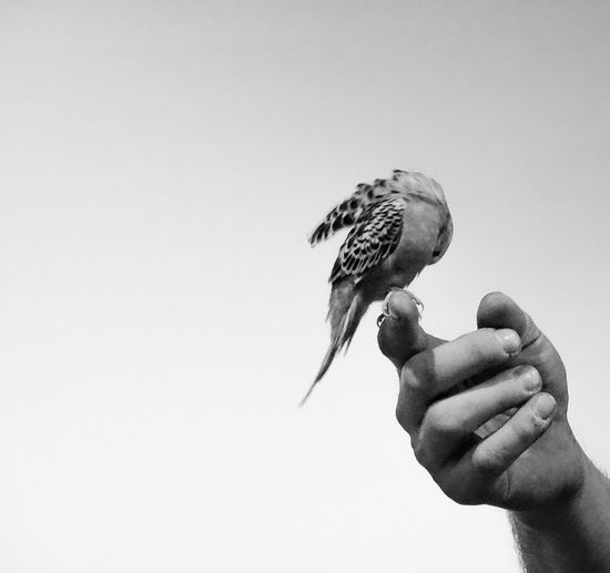 Human Hand Bird Perching Blackandwhite
