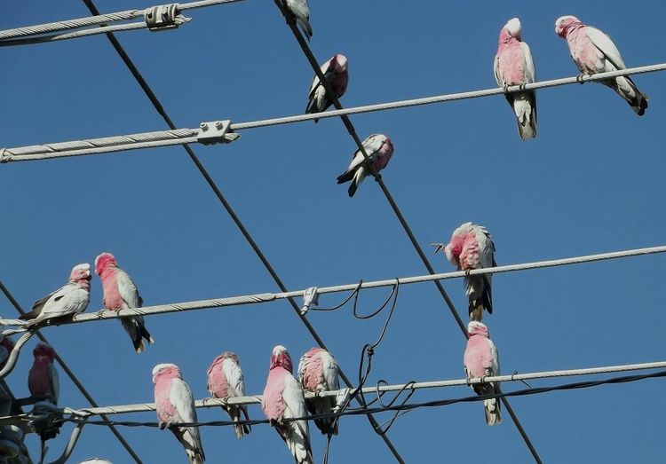 a very important meeting happening in front of my house :D Galah Australia Australian Wildlife