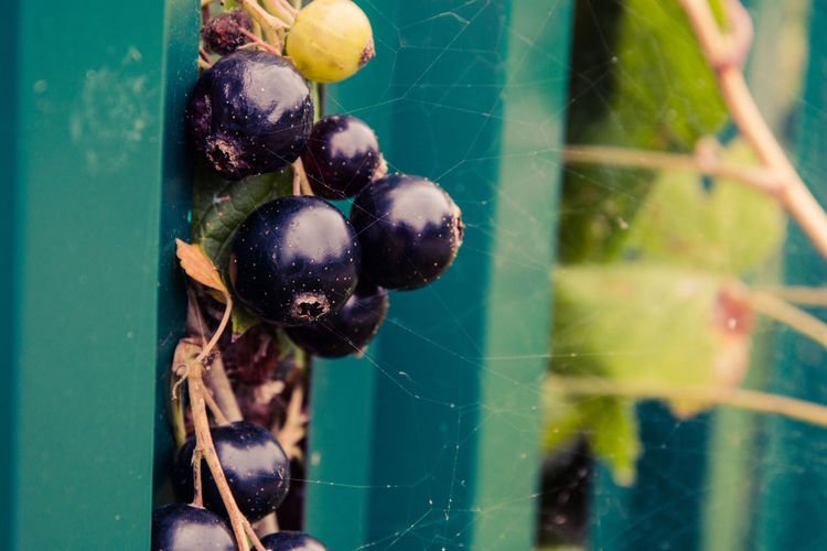 black currant Beauty In Nature Berry Fruit Close-up Day Focus On Foreground Food Food And Drink Freshness Fruit Green Color Growth Healthy Eating Leaf Nature No People Outdoors Plant Plant Part Purple Spider Web Wellbeing