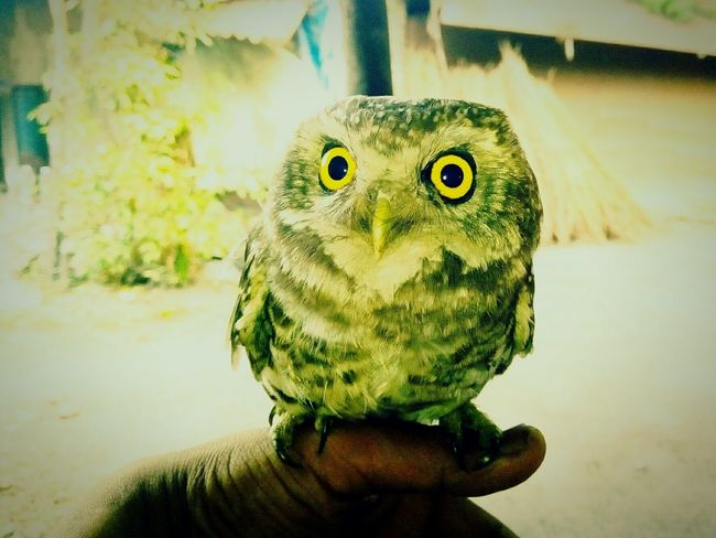 The Only True Wisdom Is In Knowing You Nothing............ On My Hand On My Hand Portrait Looking At Camera Close-up Owl Yellow Eyes