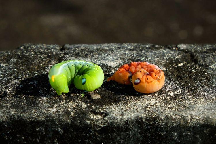 Close-Up Of Caterpillars