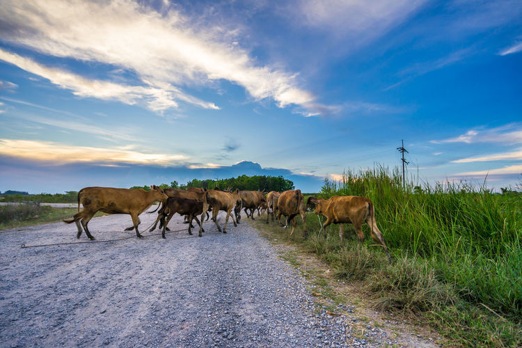 Cows crossing a