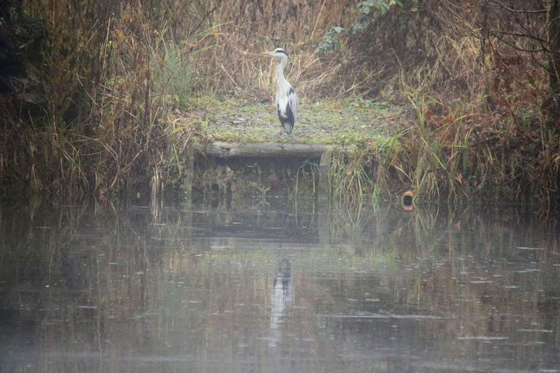 Isolation Solitude Animal Themes Animal Wildlife Animals In The Wild Bird Day Grass Grey Heron  Heron Lake Nature No People One Animal Outdoors Reflection Water Misty