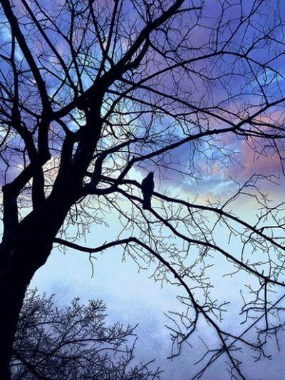 вечер ворона дерево ветки небо облака вечернеенебо Tree Evening Sky Evening Crow Zenfone2laser Ze601kl Mobilephotography Mobilephoto мобильнаяфотография мобилография Zenfone Photography Smartphonephotography мобильная фотография веткидеревьев деревья Treebranches
