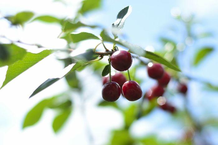 Cherry Nature Garden рыльск Природа Russia Summer Вишня