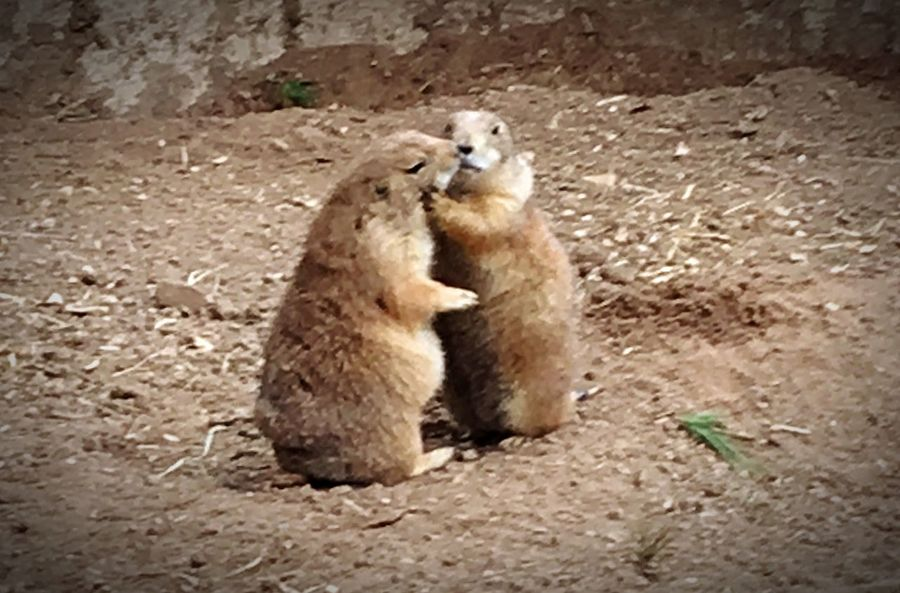 Awww two prairie dogs conoodling💗 Embracing Embrace Prairiedog Conoodling Love Hug Holding Each Other Tan Sand Prairie Dogs Prairie Dog Animals In Love Animals Posing Love ♥ Two Is Better Than One