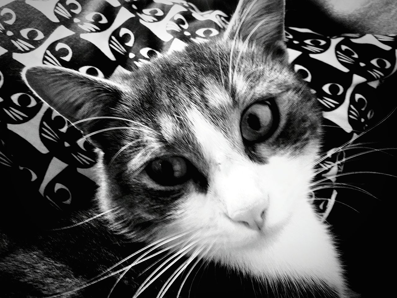 domestic cat, domestic animals, pets, animal themes, mammal, feline, whisker, no people, close-up, indoors, one animal, looking at camera, portrait, day