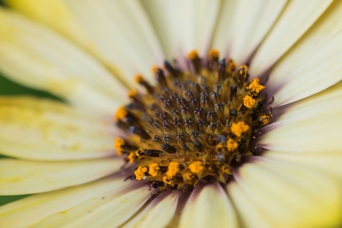 Close-up photo of yellow daisy. Daisy Daisy Flower Daisy 🌼 Yellow Daisy Beauty In Nature Close-up Daisy Close Up Daisy Close-up Daisy Closed Up Day Flower Flower Head Fragility Freshness Gazania Growth Nature No People Outdoors Petal Plant Pollen Yellow