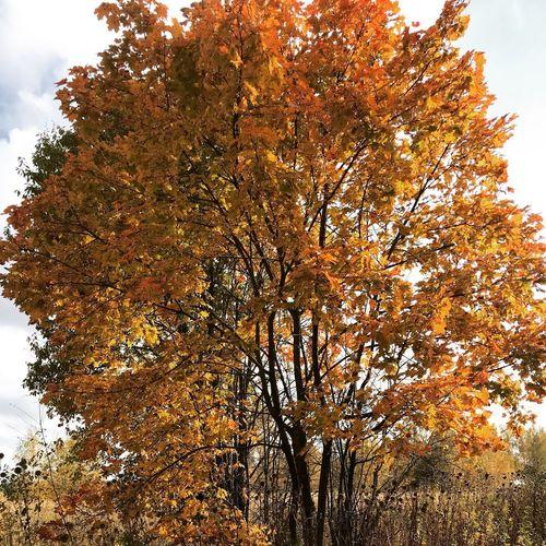 Tre In Fall