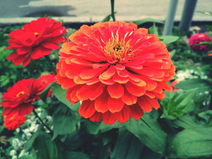 Flower Nature Beauty In Nature Flower Head Petal Plant Red Freshness Growth Orange Color Fragility Day Outdoors No People Zinnia  Blooming Close-up