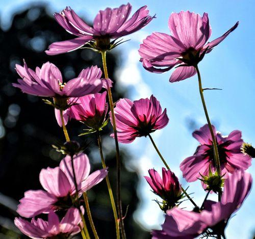 Myfavoriteflower Petal Summertime Fragility Pink Color Outdoors Pink Beauty In Nature EyeEm Best Shots EyeEm Gallery Happigramma Thesmallestlittlethings Iseeinpictures Low Angle View Eyeem This Week Vibrant Color Photographyisart Silhouette EyeEm Sunlight Sunbeam Godsartwork Everythingisbeautiful Flower Head Nikonphotography summertime