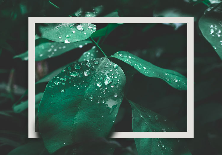 Green leaf with dew and white frame on dark nature background. Drop Water Wet Plant Leaf Plant Part Close-up Nature Growth Focus On Foreground Beauty In Nature Freshness Fragility Rain Vulnerability  Day Green Color Outdoors RainDrop Dew No People Purity Rainy Season Leaves Flower