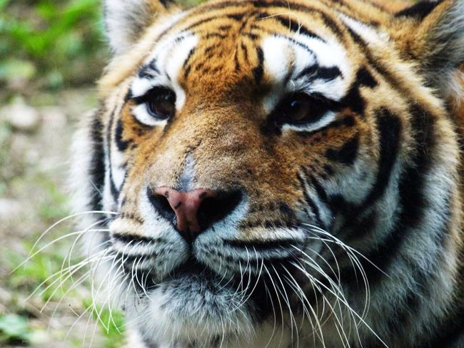 Tiger Animals Animal_collection Animal Taking Photos Nature Nature_collection EyeEm Nature Lover Eye4photography  EyeEm Best Shots