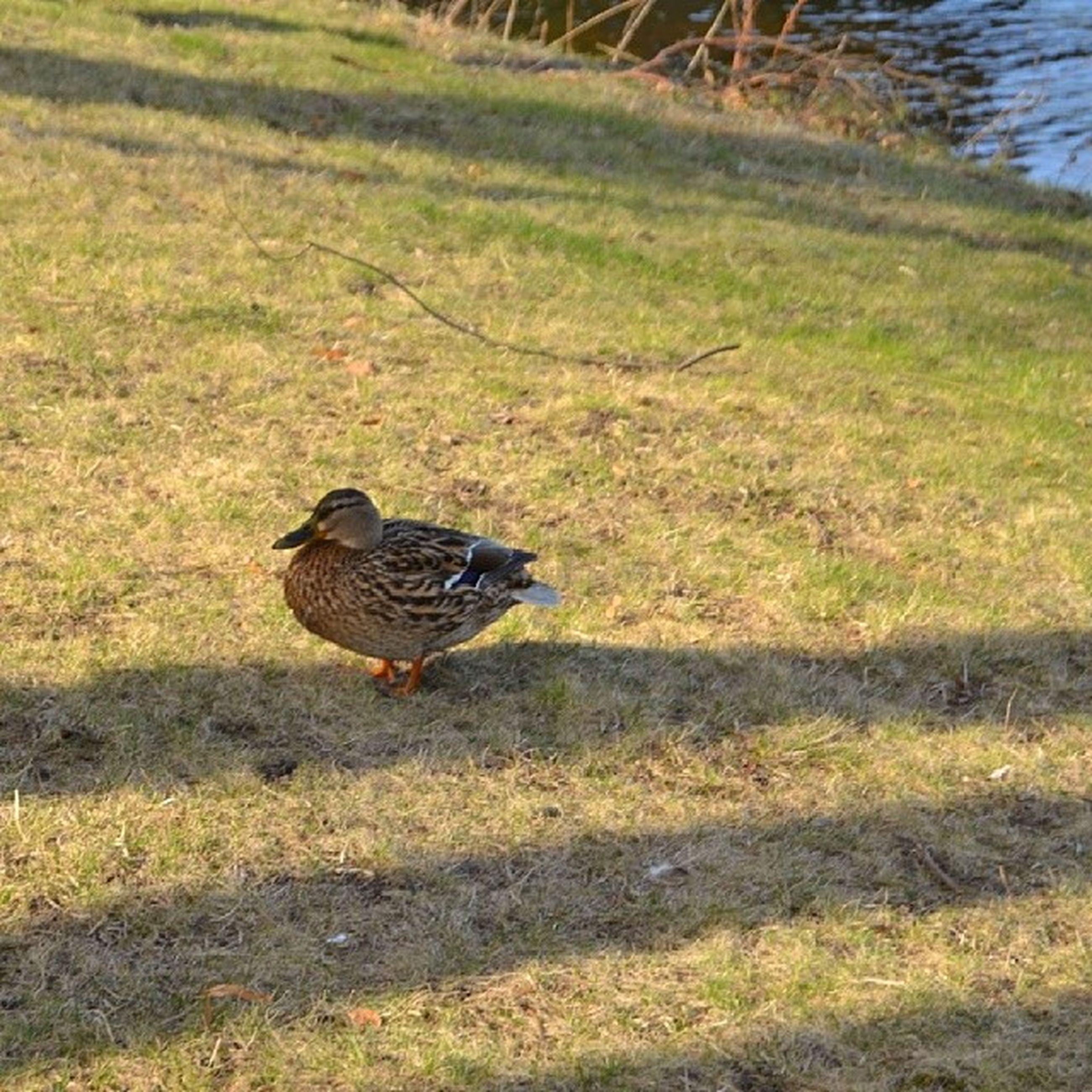 animal themes, animals in the wild, bird, wildlife, grass, one animal, duck, field, high angle view, nature, full length, grassy, two animals, outdoors, day, black color, sunlight, plant, no people, green color