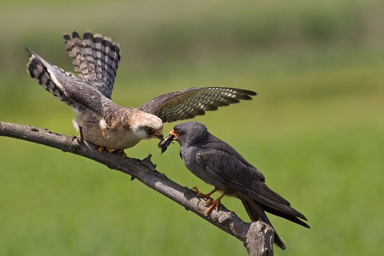 Falcon-bird Animal Animal Wildlife Animals In The Wild Bird Falcon - Bird Group Of Animals Nature Two Animals