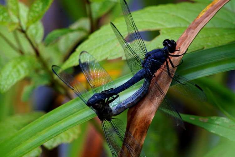 Green Animal Themes Beauty In Nature Close-up Dragonflies Dragonflies Mating Green Color Insect Leaf Nature Outdoors