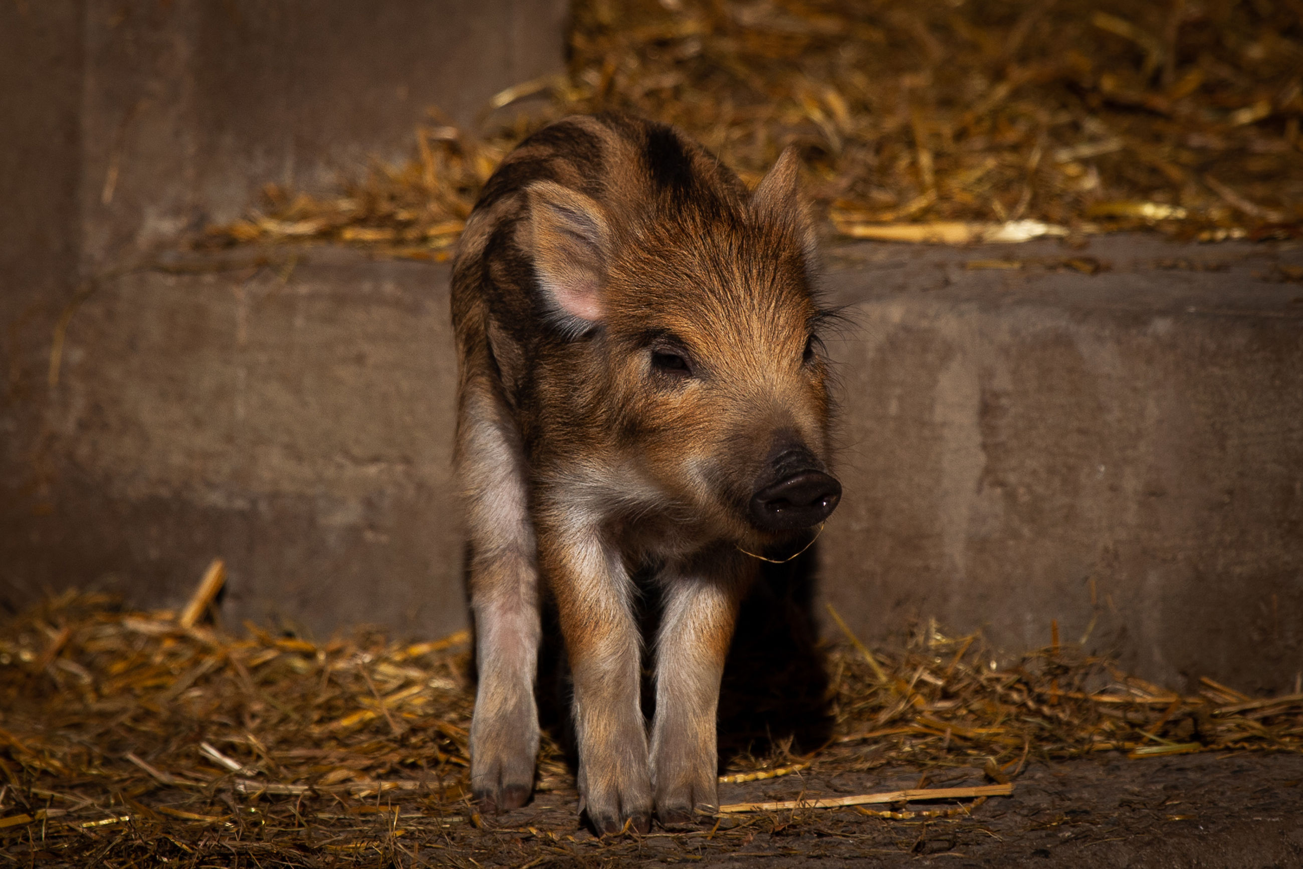 mammal, animal themes, animal, one animal, animal wildlife, no people, vertebrate, animals in the wild, young animal, pig, day, nature, domestic animals, outdoors, land, pets, brown, wild boar, field, piglet, animal head, herbivorous