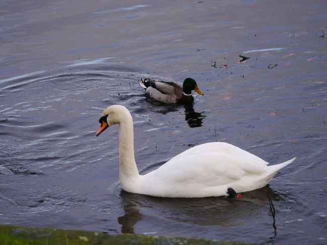 Animal Themes Animal Wildlife Animals In The Wild Beauty In Nature Bird Close-up Day December December 2016 Fountains Abbey Fountains Abbey Yorkshire Fountains Abbey, Yorkshire Lake Nature No People Outdoors Swan Swimming Water Water Bird