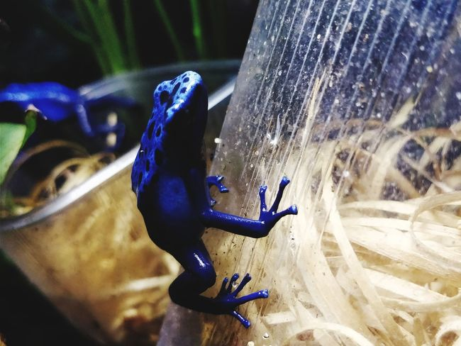 blue frog Blue Frog Frog Exotic Frog Rainforest Frog EyeEmNewHere Adventure Underwater Nature Close-up