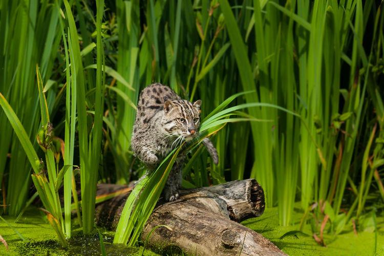Alert cat on drift wood in forest