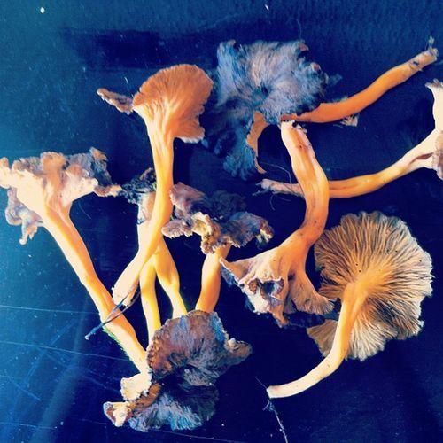 Camagrocs Cantharelus Cantharelus_lutescens Cantharelus_tubaeformis yellow setas hongos catalunya catalonia mushrooms bcn_delicatessen ink361 ink361_mobile pic_oftheday amarillo food rebozuelo trompeta_amarilla