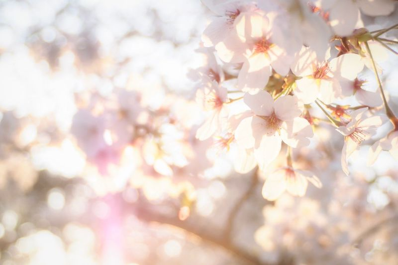 Sunset Plant Fragility Tree Beauty In Nature Flower Freshness Flowering Plant Close-up Nature Springtime Growth Blossom Backgrounds Pink Color Cherry Blossom Day