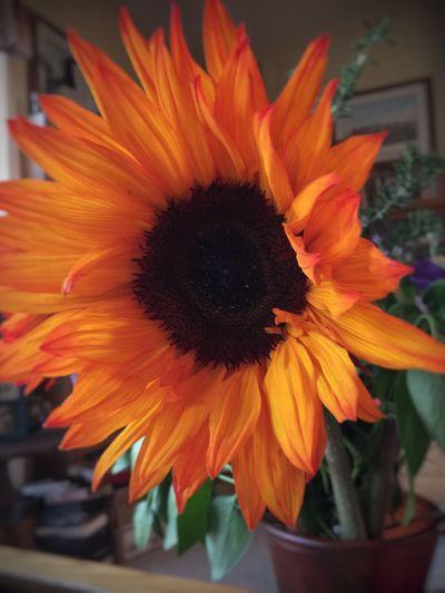"""Orange is the happiest color."" -Frank Sinatra Flower Flower Head Orange Color Close-up Sunflower Tadaa Community"
