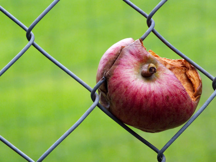 Close-up of rotten apple on chainlink fence