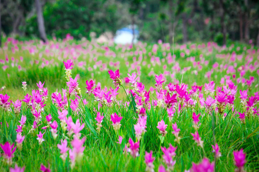 siam tulip pink flowers in garden Beauty In Nature Blooming Close-up Crocus Day Field Flora Flower Flower Head Focus On Foreground Fragility Freshness Garden Grass Growth Nature No People Outdoors Petal Pink Color Plant Siam Tulip Tranquility