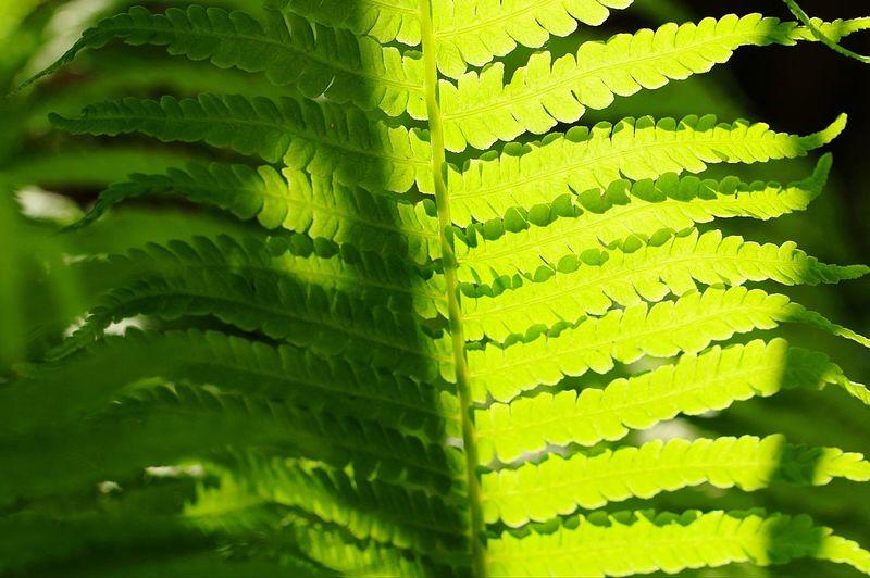Fern Leaf Fern