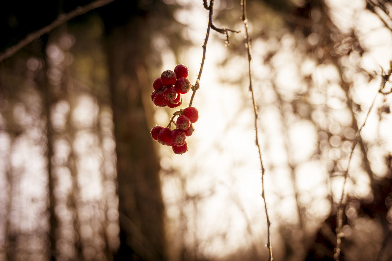 Low Angle View Of Berries Hanging On Tree