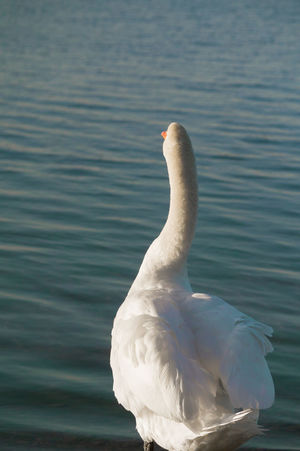 Rear view of a white Swan in front of a Lake with rippled Water Surface. Swan White Bird Rear View Close-up Waterfront Water Rippled Blue Motion Water Bird Sea Tranquility Calm Feathers Light Morning Light Sunlight Animal Nature Vertical Vertebrate Day White Color No People One Animal Lake Beauty In Nature Animal Neck Animals In The Wild