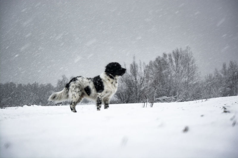stabyhoun in a snow storm Stabyhoun Stormy Weather Running Snowing Outdoors Pets Domestic Animals Animal Themes Nature No People Mammal Snowflake Sky Shades Of Winter