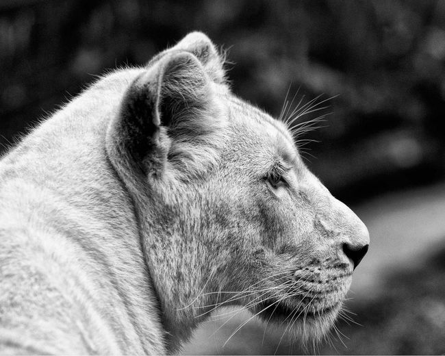 Animal Head  Animal Portrait Animal Themes Animals In Captivity Black & White Lioness Mammal One Animal Relaxation Zoology