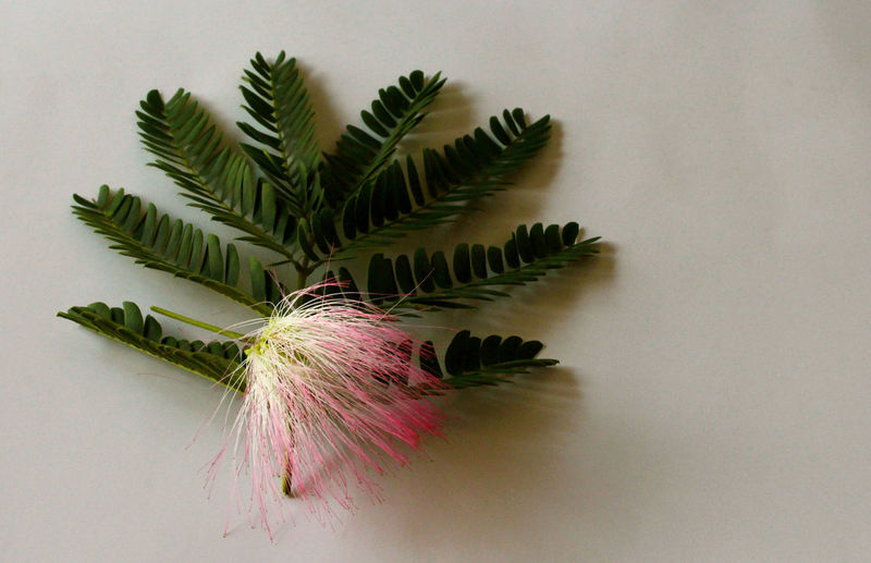 High angle view of pink mimosa flower and twig on table