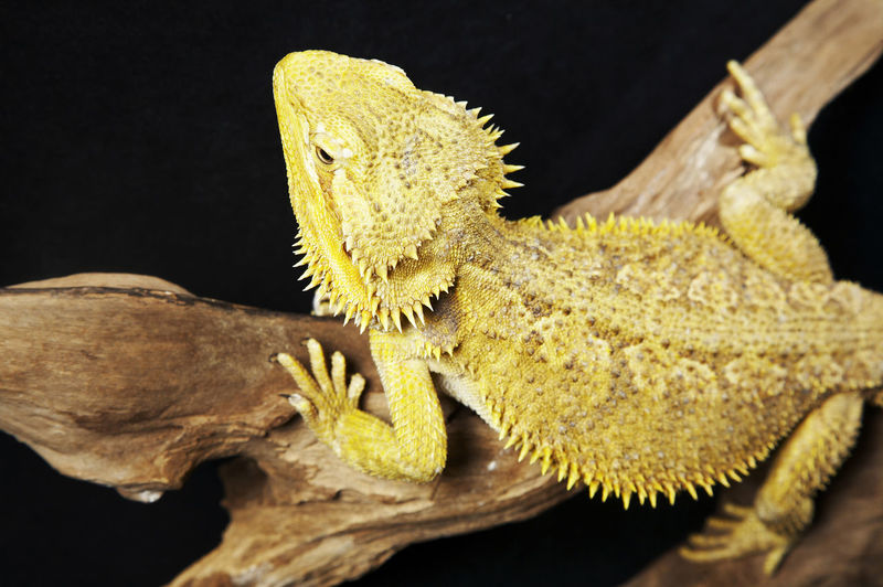 Close-up of bearded dragon on branch against black background
