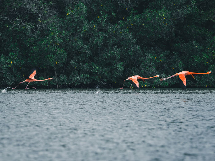 Flamingos flying over river against trees