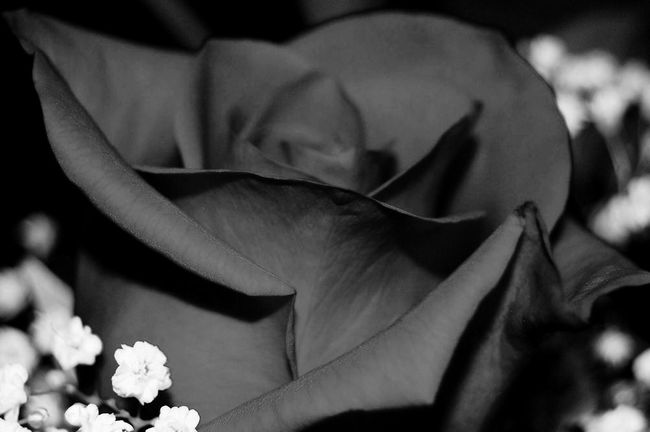 Blackandwhitephoto Black And White Rose - Flower Flower Head Rose Black And White Black And White Rose Floral Photography Flower Head Flower Leaf Petal Close-up Plant In Bloom Plant Life Single Rose